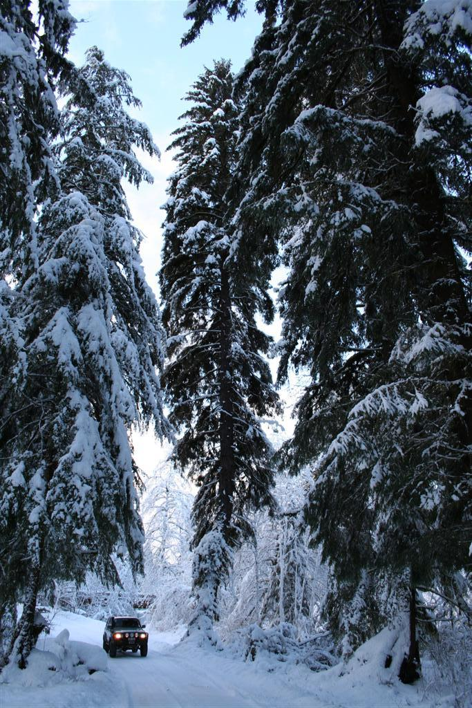 Blanketed Sitka Spruce